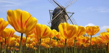 Wiatraki i tulipany jako symbol Holandii