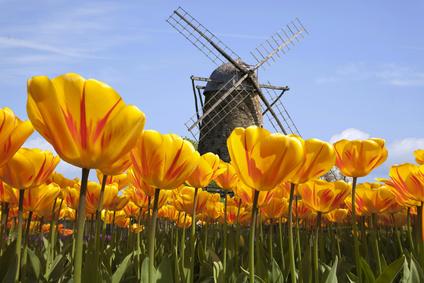 Tulipany i wiatrak w Holandii - znak rozpocznawczy Holandii